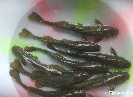 乌苏里鮠(牛尾巴鱼),乌苏里拟鲿