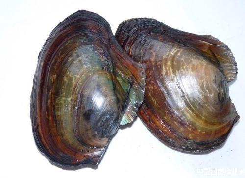 常见水生动物——河蚌