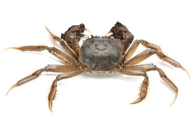中华绒螯蟹(大闸蟹)