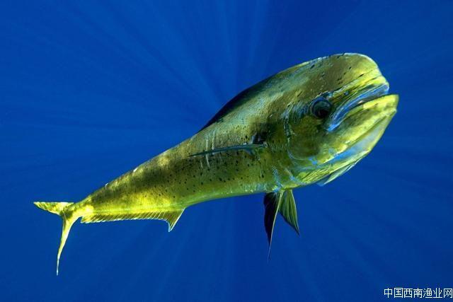 海洋鱼类——鲯鳅