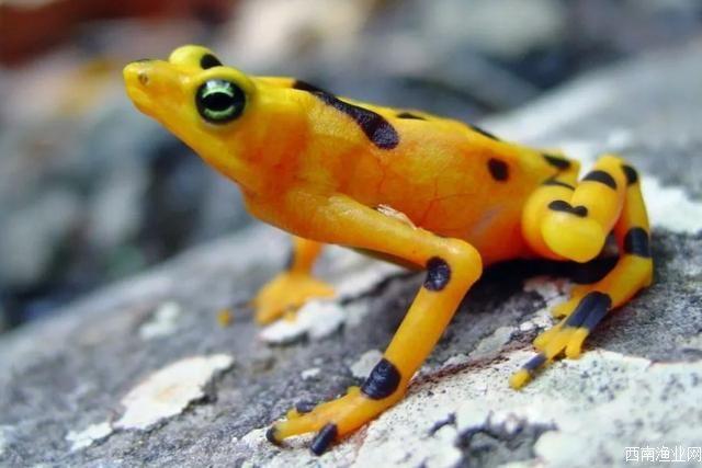 巴拿马金蛙