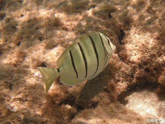 横带刺尾鱼
