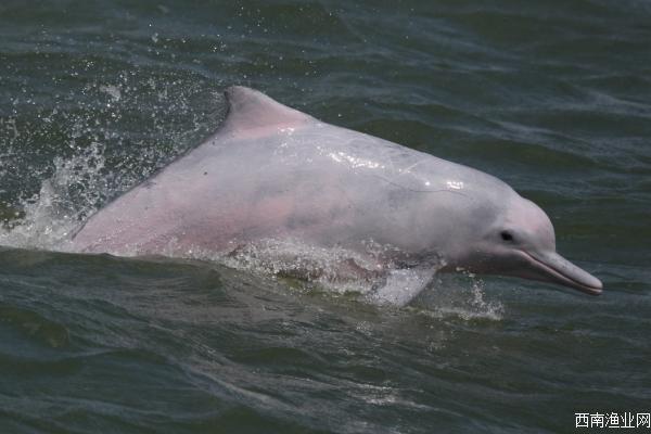 中华白海豚