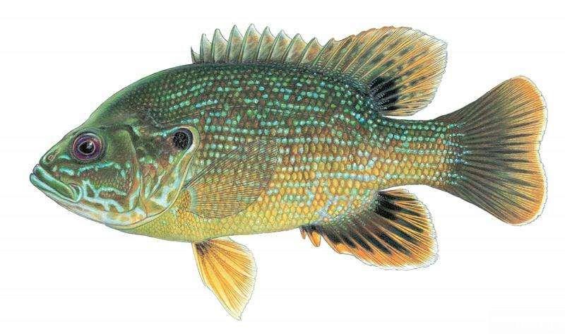 蓝鳃太阳鱼(太阳鱼)