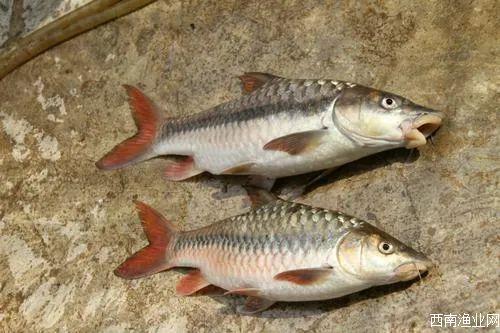 中国结鱼(吉罗鱼、红翅膀鱼)