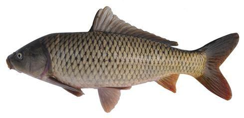 福瑞鲤:体形像草鱼的长体型鲤鱼