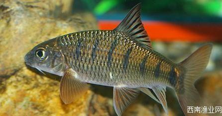 厚唇光唇鱼 溪流石斑鱼:鱼肉美味,鱼卵有毒